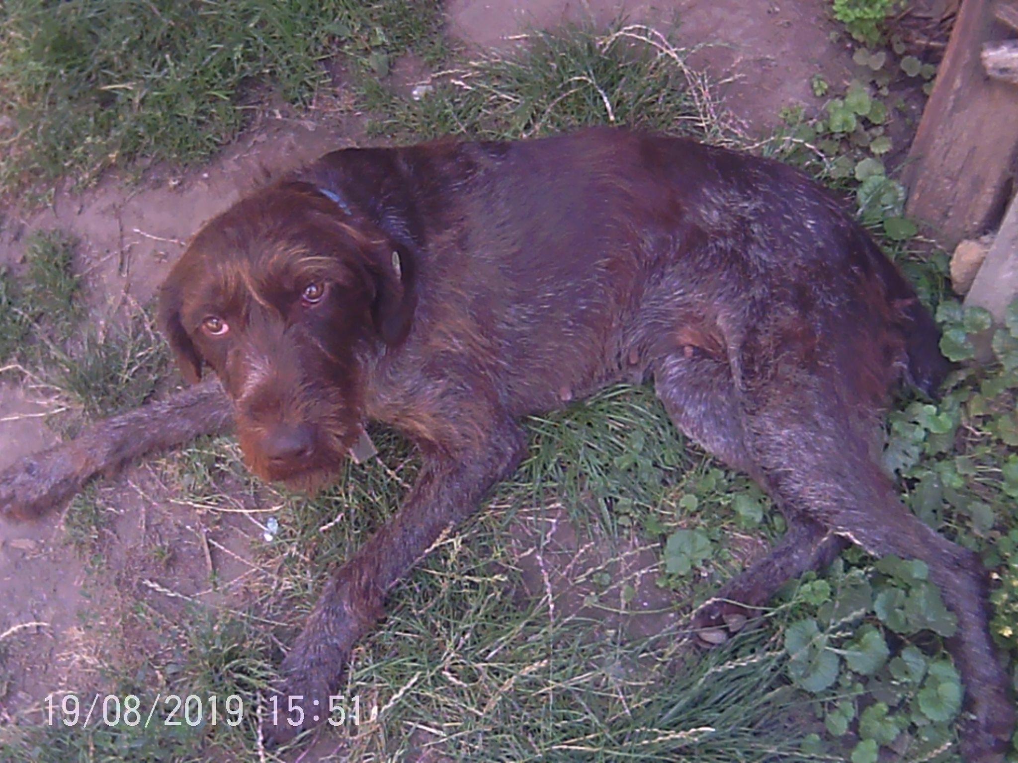 Мисливська собака дратхаар чекає на господарів