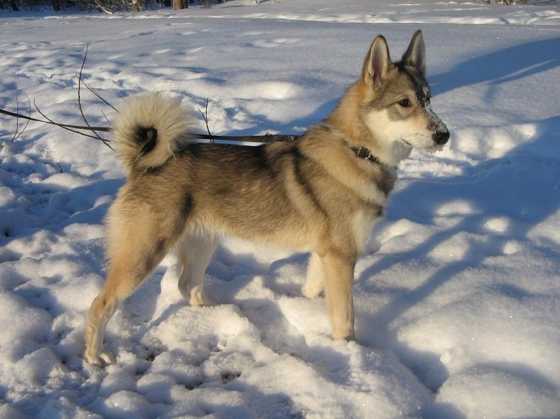 Західно-сибірська лайка загубилась неподалік Хмільника