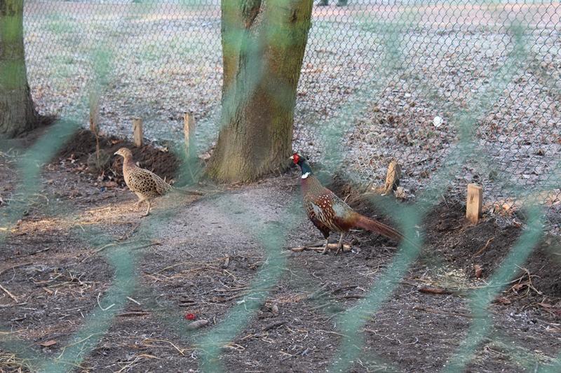 У хмільницькому парку житиме пара фазанів