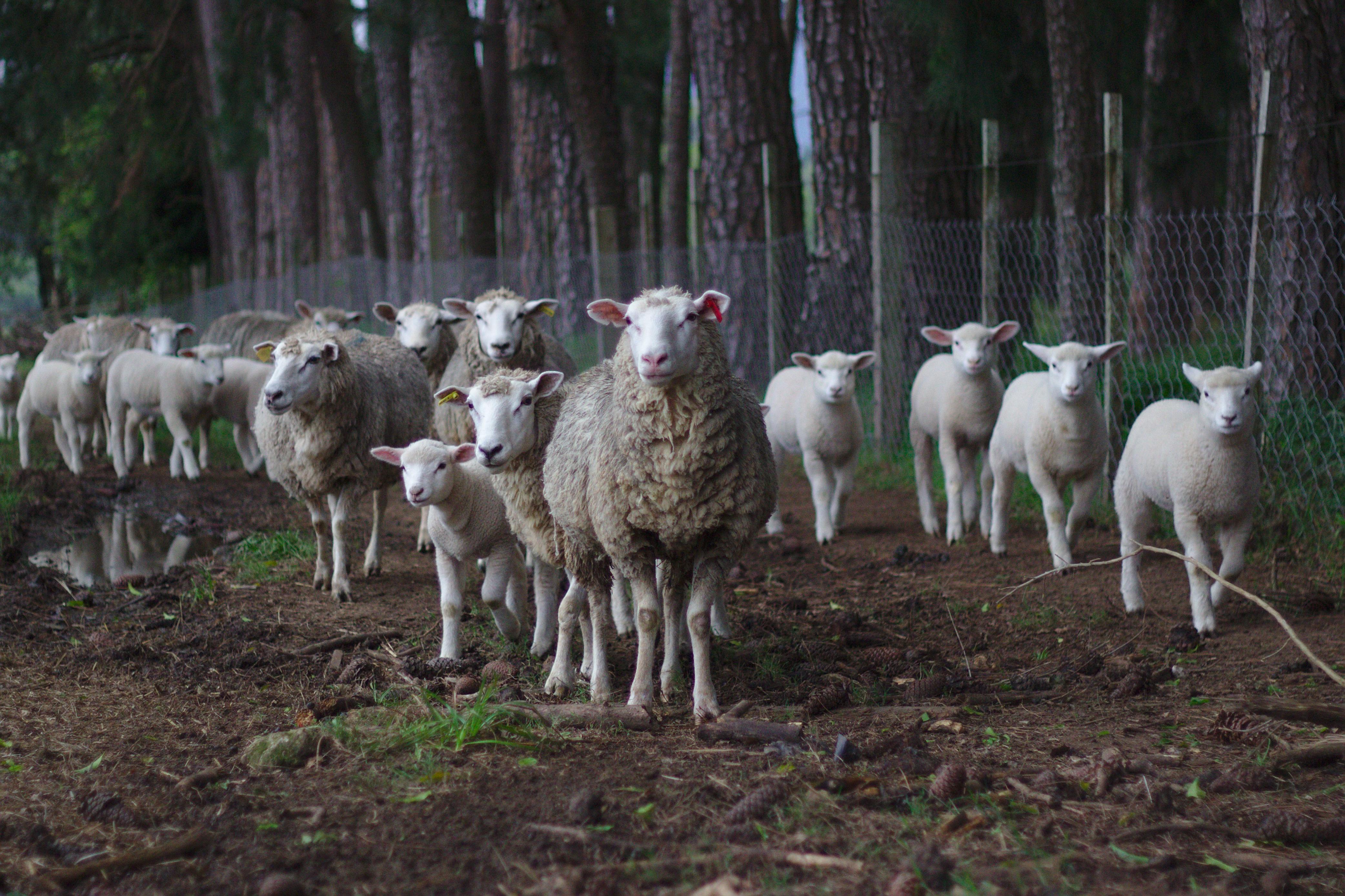 Вкрав вівцю «на шашлик» у день свого 18-річчя