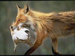 """Руда загроза. Чому Хмільницький район є одним з """"лідерів"""" із захворювання на сказ диких та свійських тварин?"""