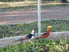 Міський парк Хмільника поповнився новими видами фазанів