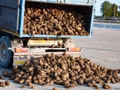 Лише дві цукроварні з шести на Вінниччині розпочали виробничий сезон: одна з двох – у Хмільницькому районі