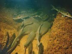 З першого листопада забороняється ловити рибу в зимувальних ямах