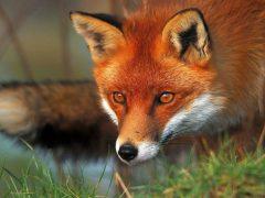 На території Хмільницького району відбуватиметься проведення контролю ефективності осінньої пероральної вакцинації диких тварин проти сказу