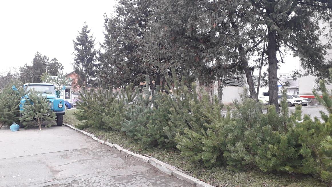 В Хмільнику розпочався продаж живих ялинок