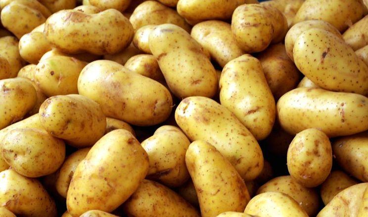 В Калинівці вирощують високоврожайні сорти картоплі