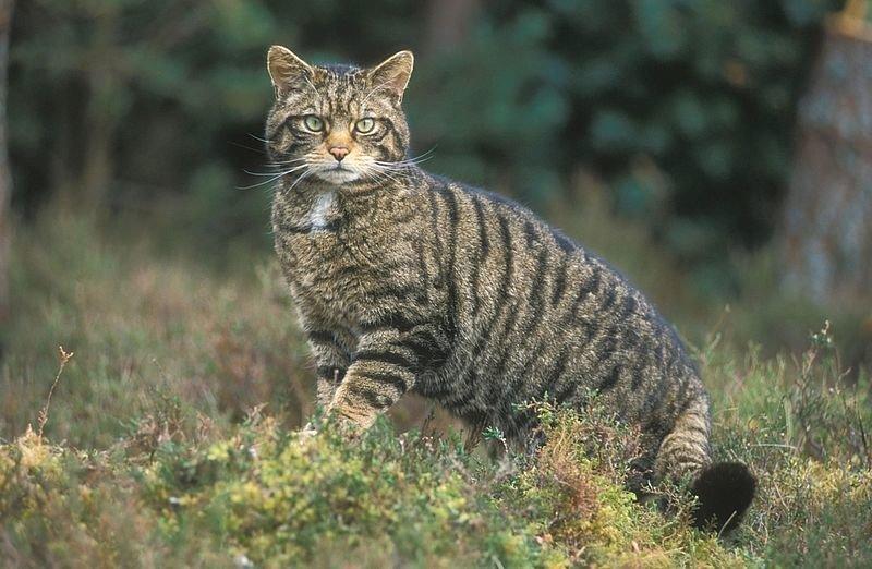 В лісах Хмільницького лісгоспу зростає чисельність диких котів