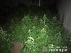 """""""Сію-сію конопелечки"""": близько півтисячі рослин конопель і схожу на канабіс речовину вилучили поліцейські у хмільничанина"""