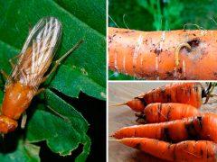 Як позбутися надзвичайно небезпечного шкідника моркви – морквяної мухи