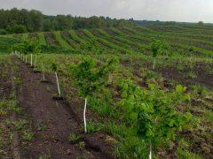 У Хмільницькому районі агроном має фундуковий сад площею понад 45 гектарів