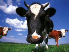 Власники корів отримають державну допомогу